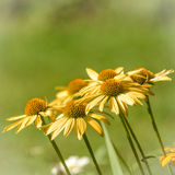 Echinacea Royalty Free Stock Images