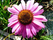 Echinacea. Is a beautiful big flower grows on a bed Stock Photo