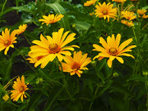Echinacea. Beautiful blossoming of yellow Echinacea Royalty Free Stock Photography