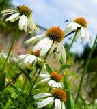 Echinacea bianca del fiore del cono Fotografie Stock