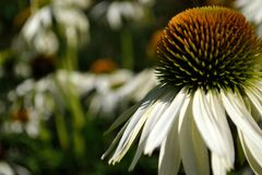 Echinacea bielu łabędź obraz stock