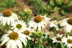 Echinacea with bittern and bumblebee. Stock Photo