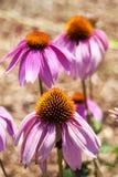 Echinacea in bloei Stock Afbeelding