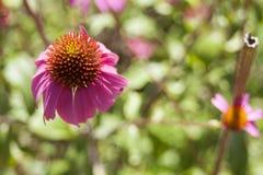 Echinacea in bloei Stock Foto