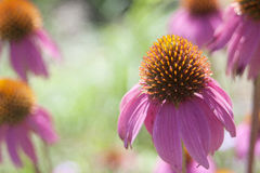 Echinacea in bloom. Orange and pink echinacea flower in full bloom Stock Photography