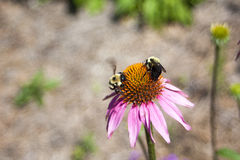 Echinacea in bloom. Orange and pink echinacea flower in full bloom, with a bee searching for pollen Stock Images