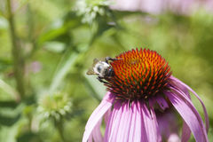 Echinacea in bloom. Orange and pink echinacea flower in full bloom, with a bee searching for pollen Stock Image