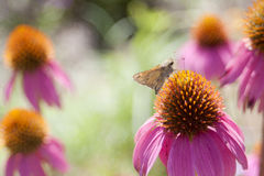Echinacea in bloom. Orange and pink echinacea flower in full bloom, plus a moth Royalty Free Stock Photography