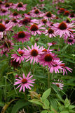 Echinacea blooming cone flower Stock Photography