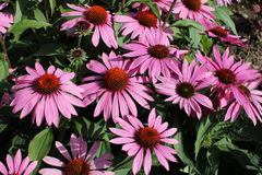 Echinacea blooming cone flower Royalty Free Stock Photos