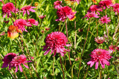 Echinacea. Blooming echinacea in the garden Royalty Free Stock Images