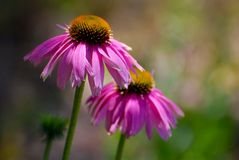 Echinacea Blossoms Stock Photo