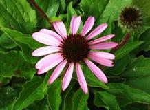 Echinacea-Blume Lizenzfreies Stockfoto