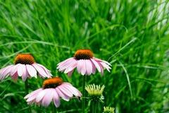 Echinacea-Blume Stockfoto