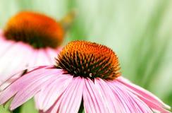 Echinacea-Blume Lizenzfreie Stockfotos
