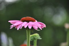 Echinacea-Blume Stockbild