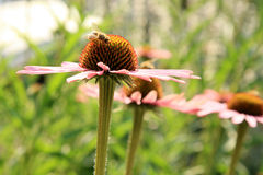 Echinacea with bumblebee Stock Photo
