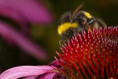 Echinacea, Bumblebee, Flower Royalty Free Stock Images