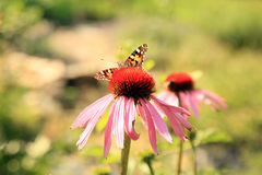 Echinacea with butterflies Stock Image