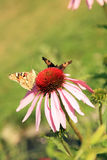 Echinacea with butterflies Stock Images