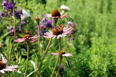 Echinacea with butterflies Royalty Free Stock Image