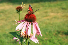 Echinacea with butterflies Royalty Free Stock Photos