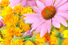 Echinacea and calendula Stock Photos