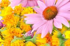 Echinacea and calendula stock photos