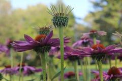 Echinacea Canada Stock Images