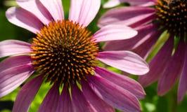 Echinacea Close up Stock Images