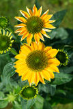 Echinacea Stock Photography