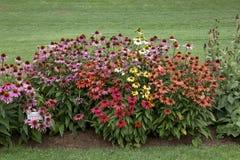 Echinacea colorido Foto de Stock Royalty Free