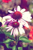 Echinacea, commonly known as coneflower Royalty Free Stock Photo