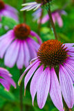 Echinacea cone flower. In wild field in NY state Stock Photography