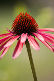 A beautiful  Cone Flower set against a green field Stock Images