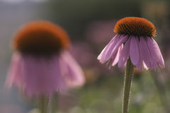 Echinacea. Or cone flower, cultivated in a garden Stock Image