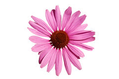 Echinacea  coneflower. Stock Photos