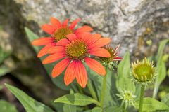 Echinacea Coneflower photographie stock