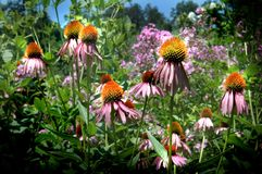 Echinacea Coneflower Field Stock Photo
