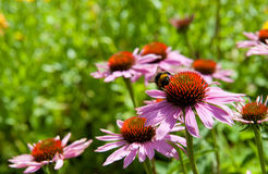 Echinacea or coneflowers Royalty Free Stock Photography