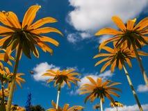 Echinacea contra el cielo azul Fotos de archivo libres de regalías