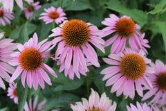 Echinacea cor-de-rosa Fotografia de Stock