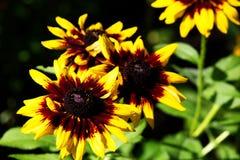 Echinacea de duas cores Imagem de Stock