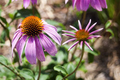 Echinacea in der Blüte lizenzfreies stockbild