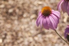 Echinacea in der Blüte lizenzfreie stockbilder