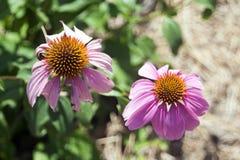Echinacea in der Blüte lizenzfreie stockfotografie