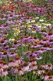 Echinacea dos ouriços-do-mar Imagens de Stock Royalty Free