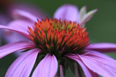 Echinacea (Echinacea Purpurea) Stock Photos