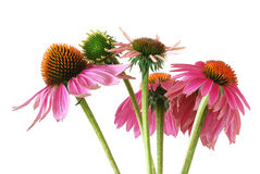 Echinacea  (Echinacea purpurea) Stock Photography