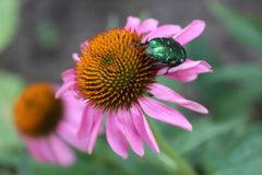 Echinacea, ein Medikament für alle Stockfoto